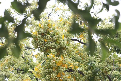 Hoa sữa, loài hoa đặc trưng của mùa thu Hà Nội. Ảnh: Ngọc Thành.