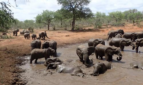 Những con voi châu Phi trong một vũng nước tại công viênquốc gia Greater Kruger. Ảnh: Mark Wright.