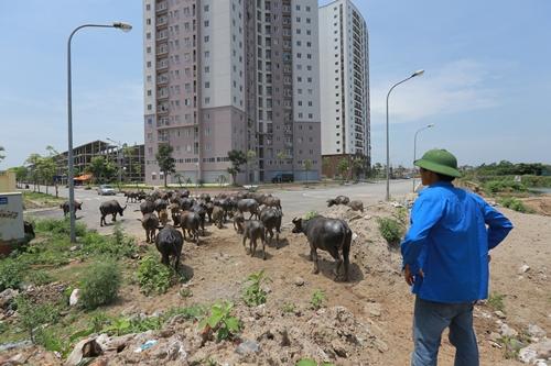 Nhiềudự án dang dở tại vùng Hà Tây cũ trở thành bãi chăn trâu. Ảnh: Đỗ Mạnh Cường.