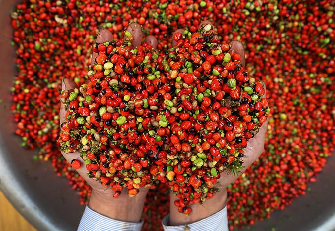 Rừng sâm hơn 400 ha trên núi Ngọc Linh