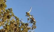 Rắn đuôi chuông dài 1,8 mét vắt mình trên ngọn cây