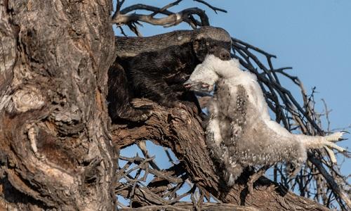 Lửng mật ngoạm xác đại bàng con trên cây. Ảnh: National Geographic.