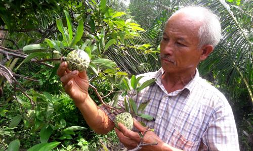 Nhiều nông dân ở Cà Mau đang làm giàu từ mô hình trồng mãng cầu ta. Ảnh: Anh Hữu.