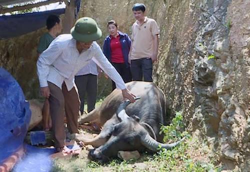 Một con trâu ở xã Xiêng Mỹ bị bệnh đang được cán bộ thú ý chăm sóc. Ảnh: CTV.