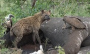Xác voi 7 tấn bị kền kền, linh cẩu ăn sạch trong vài ngày