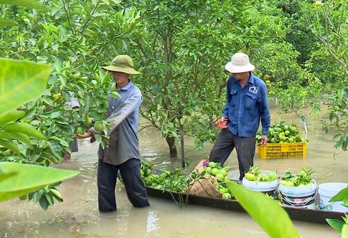 Vườn cam của nông dân ở xã Tân Phú Trung, huyện Châu Thành, tỉnh Đồng Tháp chìm trong nước. Ảnh: Long Hồ