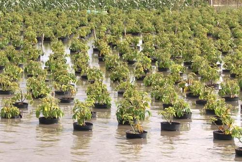 Nhiều diện tích hoa kiểng ở Sa Đéc bị ngập. Ảnh: Long Hồ