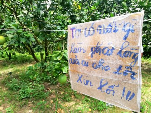 Tấm biển xin lỗi kẻ trộm trong vườn bưởi của ông Kháng. Ảnh: Nguyễn Khoa
