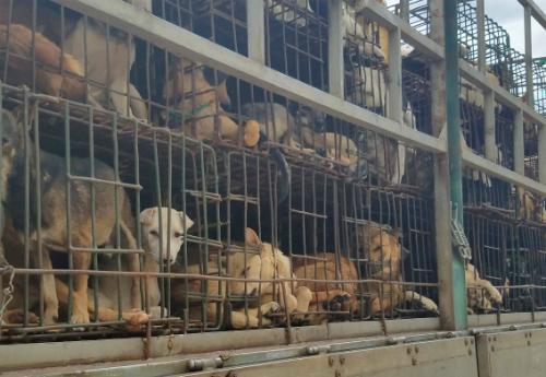 Những chú chó bị nhốttrên xe tải để đưa vào các lò giết mổ. Ảnh: Đức Hùng.