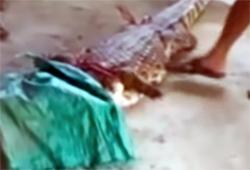 Một con cá sấu thoát ra do người dân xã Bình Thạnh bắt lại được. Ảnh: Cắt từ video