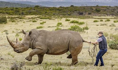 Nhân viên cứu hộ dũng cảm nắm đuôi kéo con tê giác nằm xuống đất. Ảnh:Rainer Schimpf.