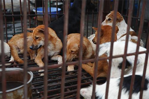 Chó được bán để giết thịt ở chợ tại Hà Nội. Ảnh: AFP