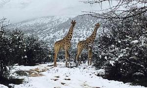 Động vật hoang dã châu Phi chống chọi với gió tuyết
