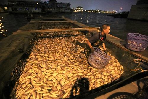 Hàng tấn cá chết được thu công nhân thu gom trong đêm. Ảnh: Gia Chính
