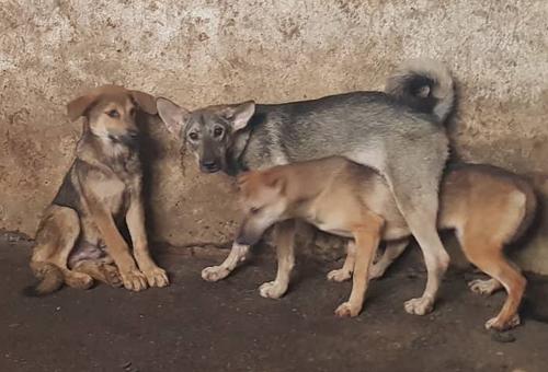 Những con chó bị nốt trong chuồng tại một lò mổ ở Hà Nội. Ảnh: Gia Chính.