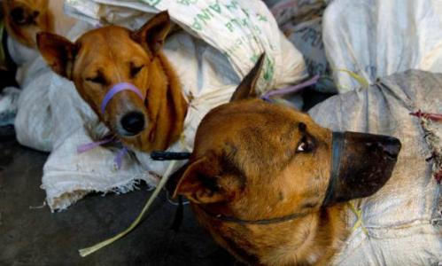 Chó bị trói trong bao tải trước khi đem đi mổ tại Bantul, Indonesia, tháng 5/2011. Ảnh: Reuters.