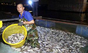 Công nhân môi trường trắng đêm gom cá chết trên Hồ Tây
