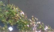 Äà n cá chết ná»i trắng kênh Nhiêu Lá»c, Sà i Gòn
