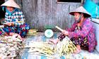 Nông dân Cà Mau trồng bồn bồn thu nửa triệu mỗi ngày