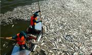 Vì sao cá liên tục chết nổi trắng ở Hồ Tây?
