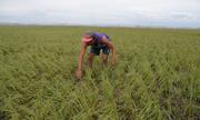 Nông dân Philippines liều mình bảo vệ tài sản trong bão Mangkhut