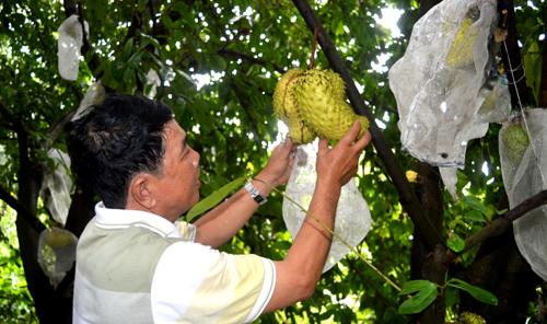 Nông dân miền Tây chế biến trà từ trái mãng cầu xiêm