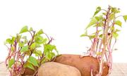 Tại sao khoai lang mọc mầm lại sản sinh nhiều độc tố?