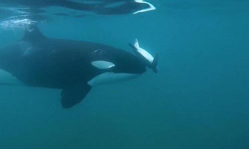 Cá voi sát thủ dạy con non săn rùa biển