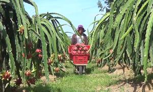 Nông dân Bình Thuận phấn khởi vì giá thanh long tăng cao