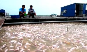 Nuôi cá cảnh bên sông Hồng đem lại doanh thu 2 tỷ một năm