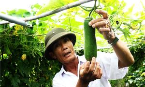 Nông dân Sài Gòn bỏ lúa trồng rau, lợi nhuận tăng gấp 10