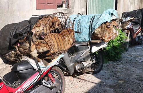 Chó được thu giữ tại nhà ông Lộc vào 3 tháng trước. Ảnh: C.A