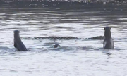 Đàn rái cá hợp sức xua đuổi cá sấu cụt đuôi