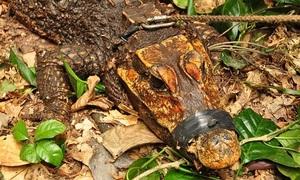 Loài cá sấu màu cam bị giam trong hang tối khi trưởng thành