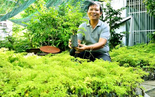 Vườn đinh lăng hàng nghìn cây của anh Tuân đang đem lại thu nhập ổn định. Ảnh: Ly Linh.