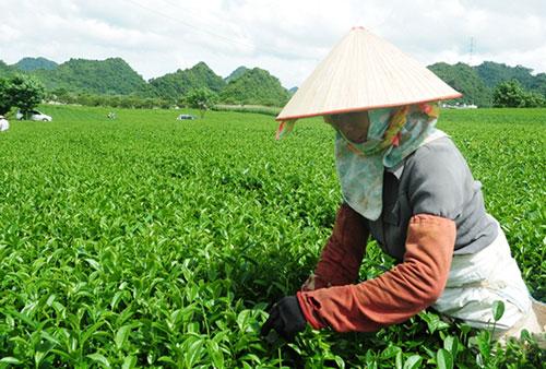 Việt Nam hiện có nhiều doanh nghiệpsản phẩm chè hữu cơ theo tiêu chuẩn quốc tế. Ảnh: V.Bình.