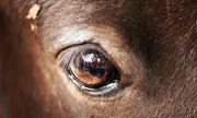 Động vật có vú trên cạn nào mắt lớn nhất?