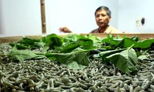 Trồng dâu nuôi tằm cho thu nhập hơn 100 triệu đồng mỗi hecta