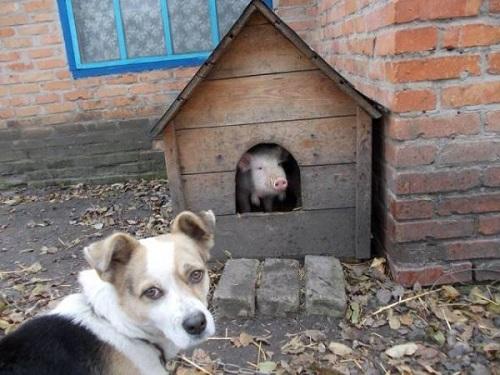 Đạo tặc lợn cướp nhà.