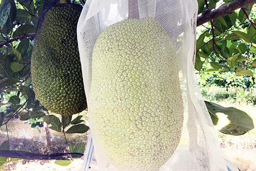 Giá mít Thái ở miền Tây 70.000 đồng/kg, cao nhất từ trước đến nay. Ảnh: Cửu Long