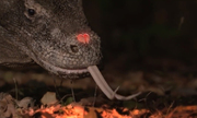 Rồng Komodo đánh hơi con mồi cách xa 4 km nhờ lưỡi chẻ dài