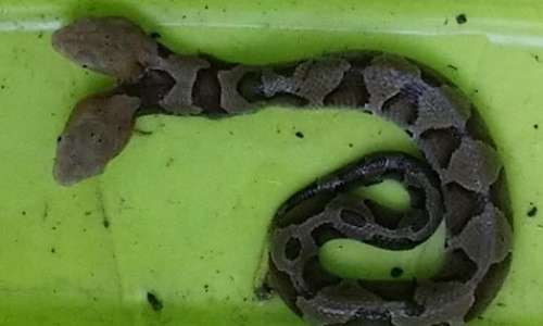 Con rắn đặc biệt được phát hiện tại Virginia, Mỹ. Ảnh: Fox News.