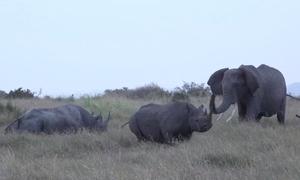 Tê giác chiến thắng trong trận hỗn chiến với voi và sư tử