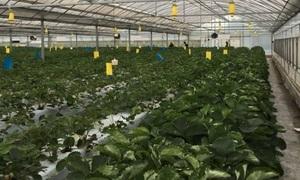 Trung Quốc trồng rau bằng điện không dùng phân bón, thuốc sâu