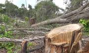 Khu rừng bảo tồn ở Bình Thuận nghi bị đầu độc