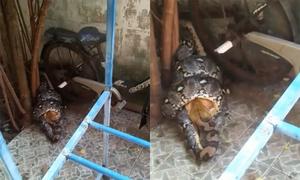 Trăn dài 3,5 mét bò vào nhà dân siết chết mèo