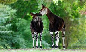 Loài thú giống con lai giữa ngựa vằn và hươu cao cổ