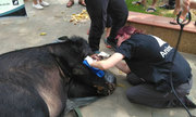 Gấu ngựa nuôi nhốt 15 năm ở Lào Cai được giải cứu khẩn cấp