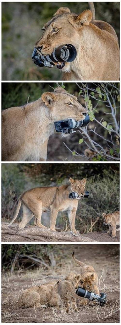 Sau niềm vui của sư tử con là nỗi buồn của một phó nháy.