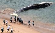 Cá mập trắng xé xác cá voi 40 tấn dạt vào bờ biển